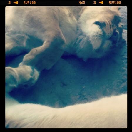 Lions #topekazoo