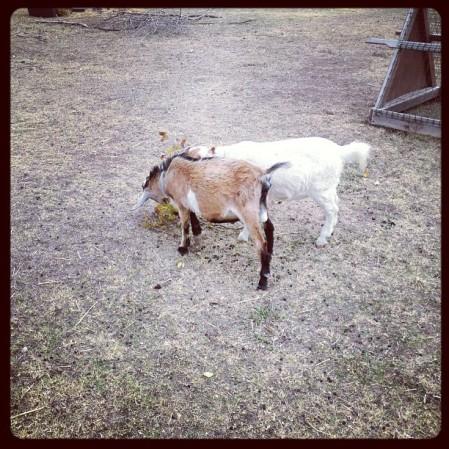Goats  Instagram