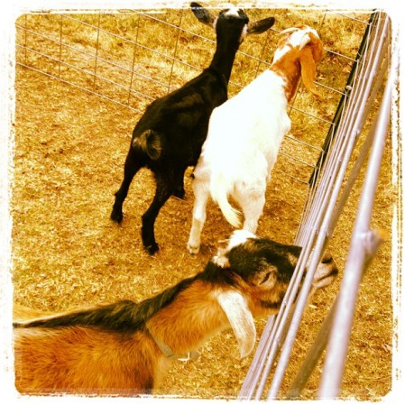 Our goats!  Instagram