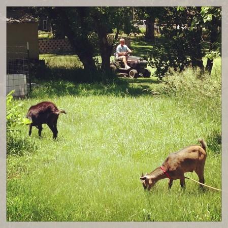 #mowing the #grass #goats #neighbor  - Instagram