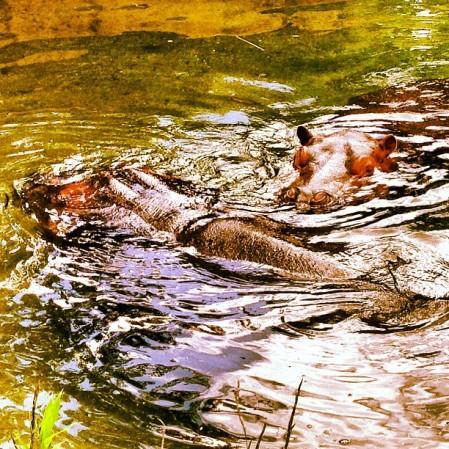 Topeka Zoo - Hippopotamus  - Instagram