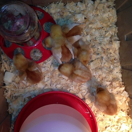 Got 6 chicks in my bathroom. #chicken #chicks #cityfarmers #crazy  - Instagram